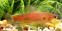 Rasbora kalochroma, Clown rasbora: aquarium