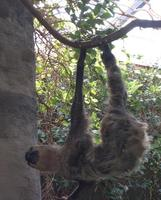 Image of: Choloepus (two-toed sloths)