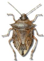 Image of: Podisus maculiventris (spined soldier bug)