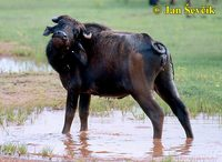 Bubalus bubalis arnee - Asian Water Buffalo