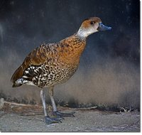 West Indian Whistling-Duck - Dendrocygna arborea