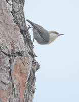 Brown-headed Nuthatch (Sitta pusilla) photo
