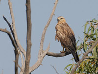 Long-legged Buzzard (Buteo rufinus) photo