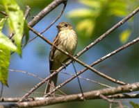 Bran-colored Flycatcher - Myiophobus fasciatus