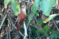 Rusty-backed  spinetail   -   Cranioleuca  vulpina   -