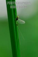 Small Translucent Minnow Mayfly of the family Baetidae ( 07 5700 ) stock photo