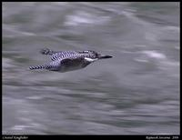 Fast flight... A Crested Kingfisher flying on the Teesta