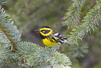 Townsend's Warbler. Photo by Dave Kutilek. All rights reserved.