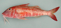 Pseudupeneus prayensis, West African goatfish: fisheries