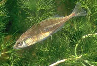 Culaea inconstans, Brook stickleback: aquarium, bait