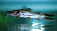 Clarotes laticeps, Widehead catfish: fisheries