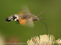 Macroglossum stellatarum - Humming-bird Hawk-moth