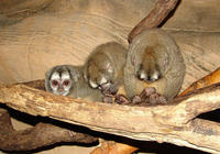 Image of: Aotus (douroucoulis, night monkeys, and owl monkeys)