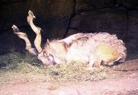 Image of: Capra falconeri (markhor)