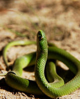 Image of: Liochlorophis vernalis (smooth green snake)