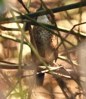 Long-tailed Wren Babbler - Spelaeornis chocolatinus