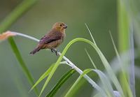 Variable Seedeater (Sporophila americana (aurita)) photo