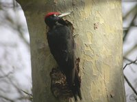Black Woodpecker - Dryocopus martius