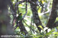 Long-tailed Broadbill - Psarisomus dalhousiae