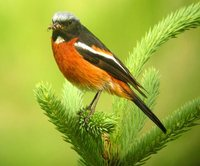 White-throated Redstart - Phoenicurus schisticeps