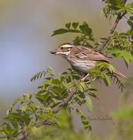 Yellow-browed bunting C20D 02793.jpg