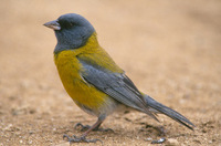 : Phrygilus gayi; Gray-hooded Sierra Finch