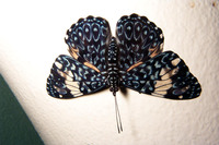 : Hamadryas amphinome; Red Cracker Butterfly