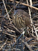 Cinnamon Bittern (Female) Scientific name: Ixobrychus cinnamomeus