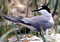 Image of Aleutian Tern, Sterna aleutica, photo by R. Gill
