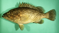 Epinephelus magniscuttis, Speckled grouper: fisheries