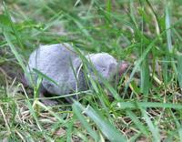 Image of: Blarina brevicauda (northern short-tailed shrew)