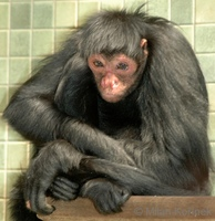 Ateles paniscus - Black Spider Monkey