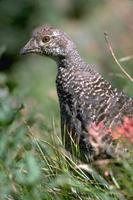 Image of: Dendragapus obscurus (blue grouse)