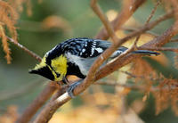 Image of: Sylviparus modestus (yellow-browed tit)