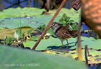 White-browed Crake - Porzana cinerea