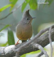 Stripe-throated Yuhina - Yuhina gularis