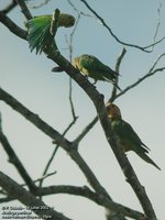 Brown-throated Parakeet - Aratinga pertinax