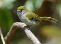 Serra do Mar Tyrannulet - Phylloscartes difficilis