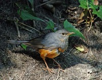 Gray-backed Thrush - Turdus hortulorum