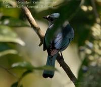 Pale Blue Flycatcher
