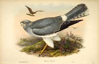 Richter after Gould Hen Harrier (Cinclus cyaneus)