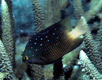 : Microspathodon chrysurus; Yellowtail Damselfish