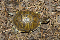 : Terrapene carolina triunbuis; Three-toed Box Turtle
