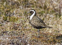American Golden-Plover on Denali Highway. Photo by Dave Kutilek. All rights reserved.