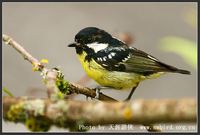 Parus venustulus Yellow-bellied Tit 黃腹山雀 087-060