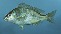 Image of Orthopristis chrysoptera, Pigfish, Gulfinnet gryntefisk, Sailor