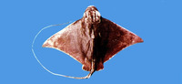 Myliobatis tobijei, Japanese eagle ray: fisheries