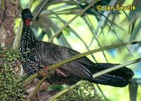 Penelope purpurascens - Crested Guan