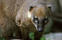 Nasua nasua - South American Coati