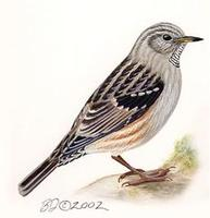 Image of: Prunella collaris (alpine accentor)